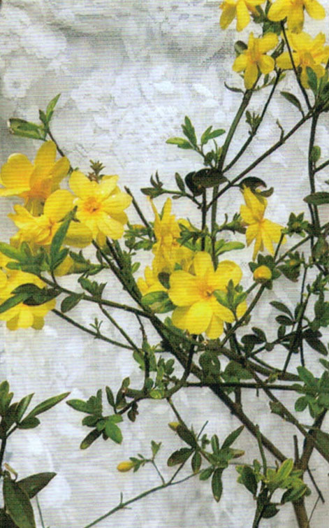 HB-101で大きな黄色い花を咲かせてくれた