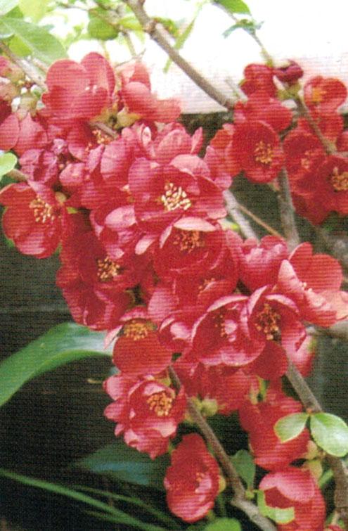 HB-101でボケの花がみごとに咲いた