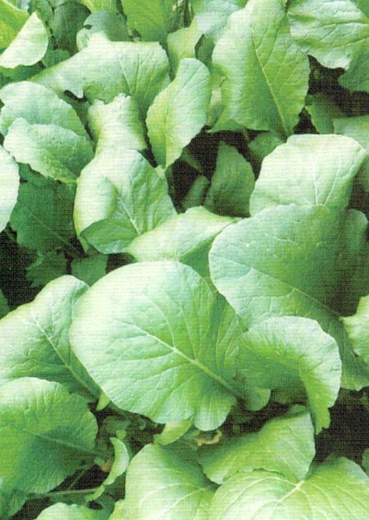 HB-101で小松菜は根張りが良く丈夫で育てやすい。