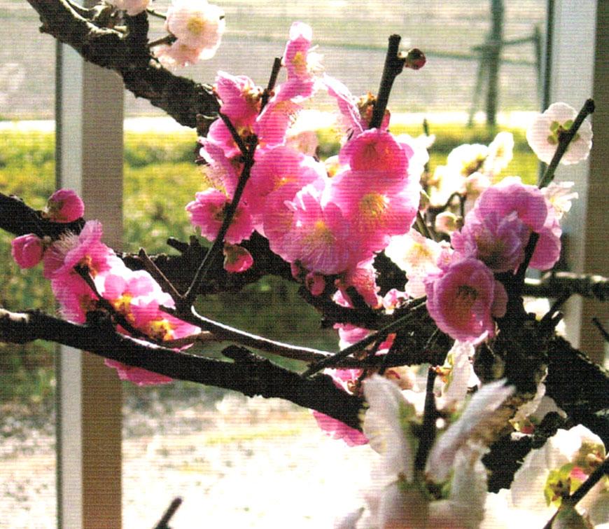 HB-101と顆粒HB-101で梅の「思いのまま」は素晴らしく咲いている