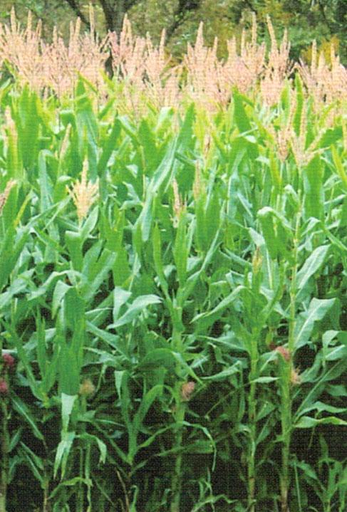 HB-101で牛の飼料用トウモロコシは下葉も枯れず収穫量が上がる
