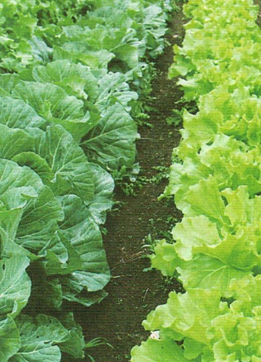 HB-101で病気や害虫に強く食味が良いと大評判の野菜