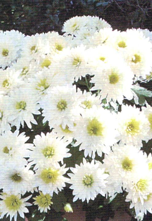 HB-101で菊が一杯に広がり、虫がつかず葉が艶々して花の色が良い