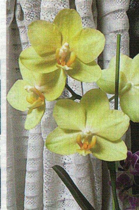 HB-101できれいに咲いた黄色い胡蝶蘭