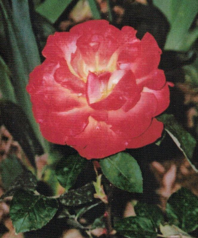 HB-101で花の色や葉に艶が出る