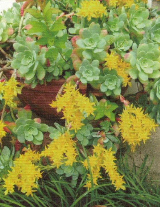 HB-101でたくさんの花をつけて咲き誇る多肉植物
