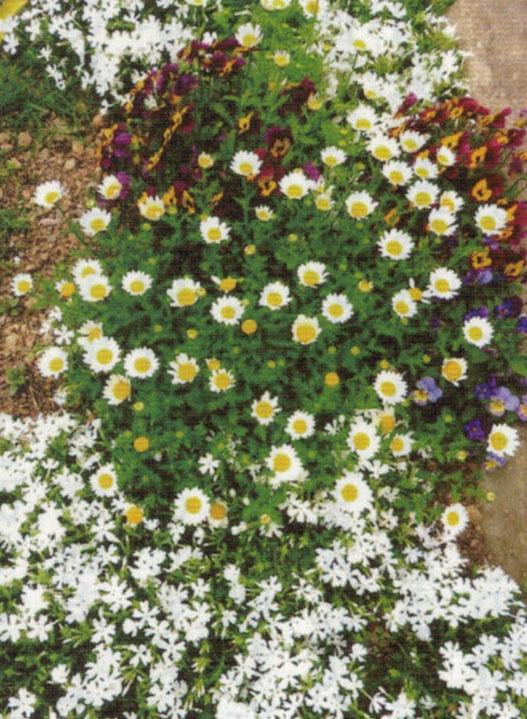 HB-101で育てる花の趣旨がこぼれ、春には見事にグランドカバーとなるスノーポールや芝桜