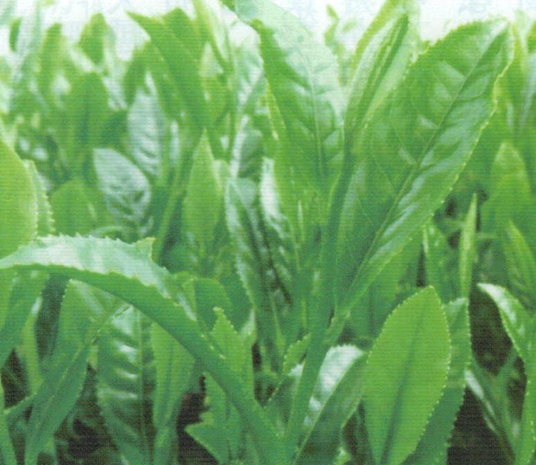 HB-101で育てたお茶の葉