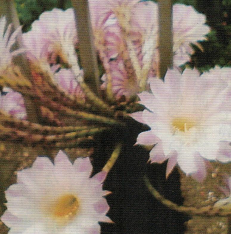 HB-101でたくさんの花を咲かせたサボテン