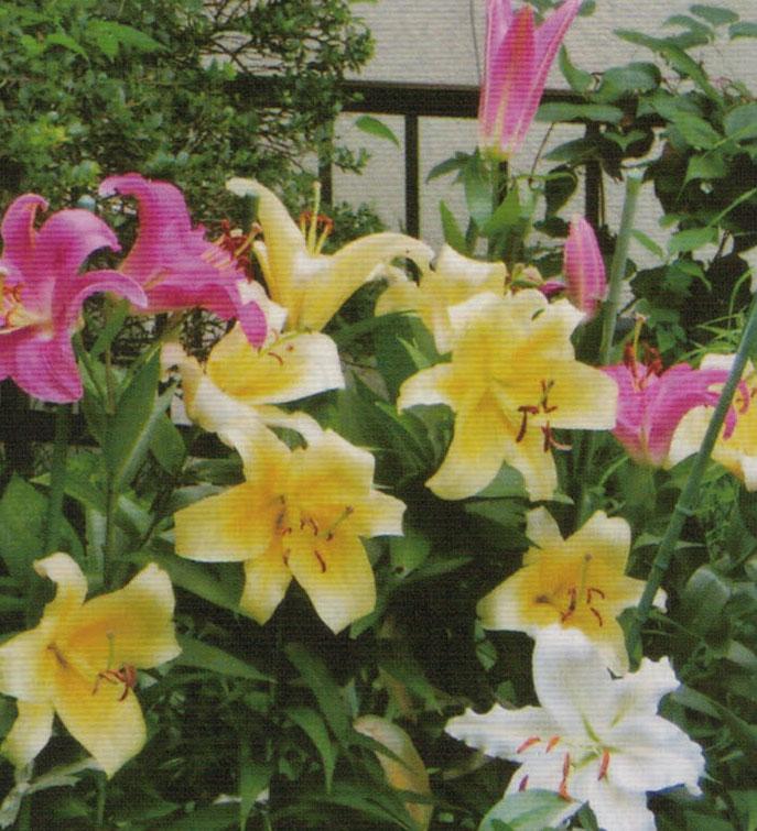 HB-101でゆりに赤、白、黄と次々にきれいな花が咲いている