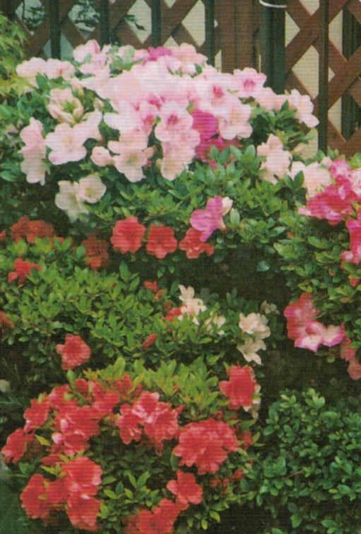 HB-101でサボテンの花が10個以上咲いている