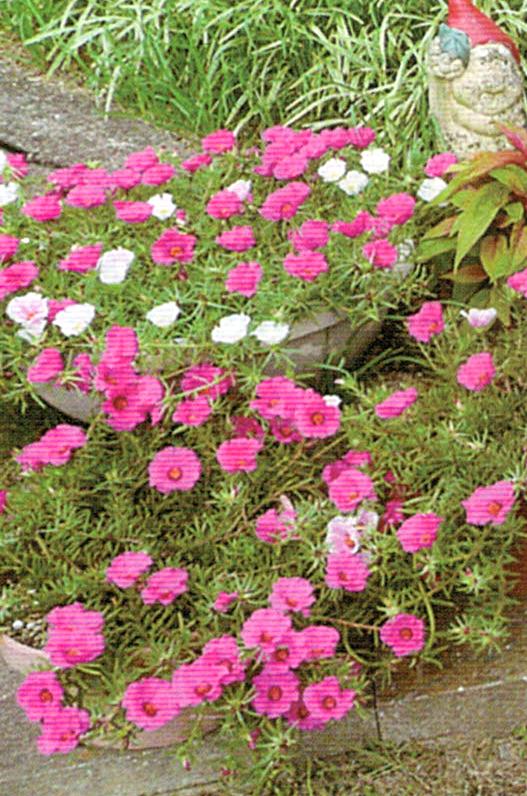 HB-101で綺麗な花が咲きます。