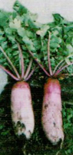 赤大根と青大根の自然光倍で出来た大根