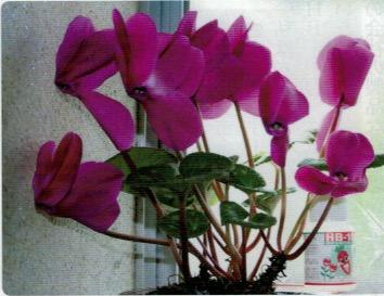 HB-101でシクラメンの花は色鮮やかになる