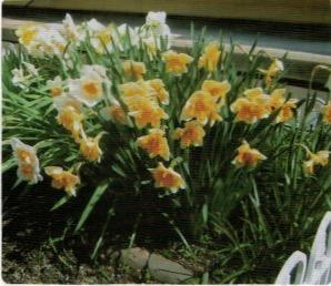 HB-101で色とりどりの水仙が見事に咲いた