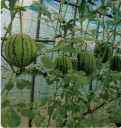 HB-101と顆粒HB-101で西瓜が甘く育つ