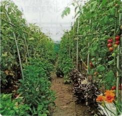 HB-101で完全無農薬のエアルーム・トマトが見事に育っている