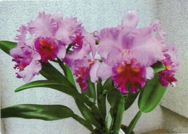 HB-101でカトレアに9輪の花が見事に咲いた