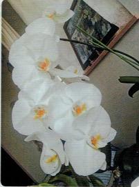HB-101で胡蝶蘭が次々に花を咲かせた