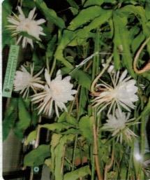HB-101で月下美人は年4回開花した