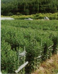 HB-101で菊の根の張りが良くなり、葉の色も濃くなる