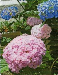 HB-101のおかげでアジサイの花がよく育つ