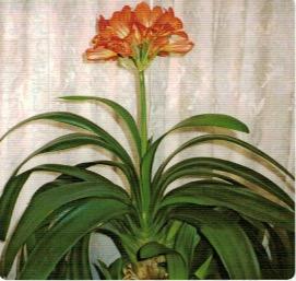 HB-101で見事に咲いた花