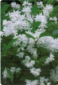 HB-101のおかげで姫空木と大手鞠に沢山の花が咲いた