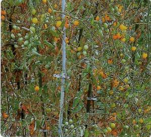 HB-101でミニトマトがたくさん生った