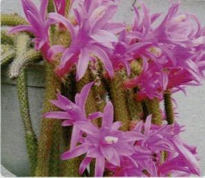 2、3年咲かなかったサボテンがHB-101と顆粒HB-101で見事に咲いた