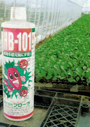 HB-101で丈夫に育った定植前のキャベツの苗で