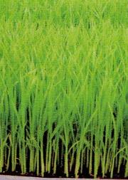 HB-101でものすごい勢いで育ってる稲