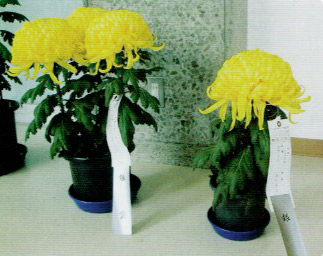 HB-101で大きく咲いた大菊