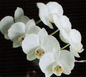HB-101で胡蝶蘭が毎年開花する