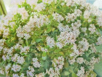 HB-101でサボテンの花が満開になった