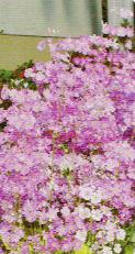 HB-101と顆粒HB-101のおかげでさくら草は見事に玄関を飾ってくれる