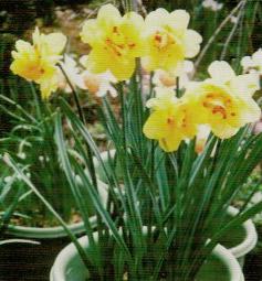 HB-101で八重咲き水仙のタヒチが咲いた
