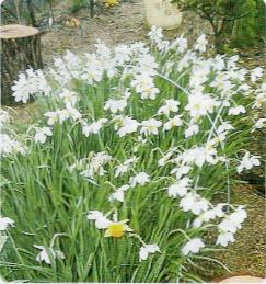 HB-101で花もちが抜群によくなり、きれいになった水仙