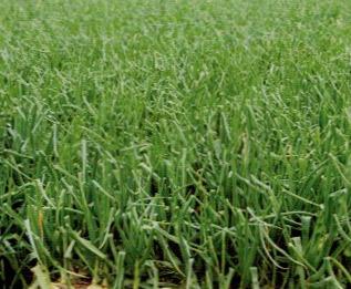 HB-101を使用すると、タマネギが早く収穫できる。