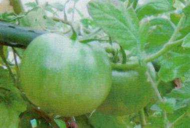 台風で倒れたのに、HB-101で再び実ったトマト