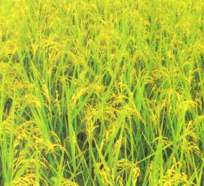 HB-101で葉は天を突き、実入りは最高です。完全無農薬のお米栽培にHB-101を33年間使っています。