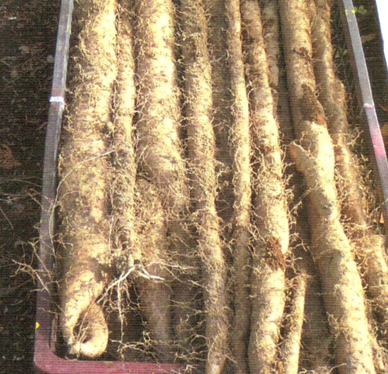 昨日掘った山芋です。HB-101で無農薬で育てています。