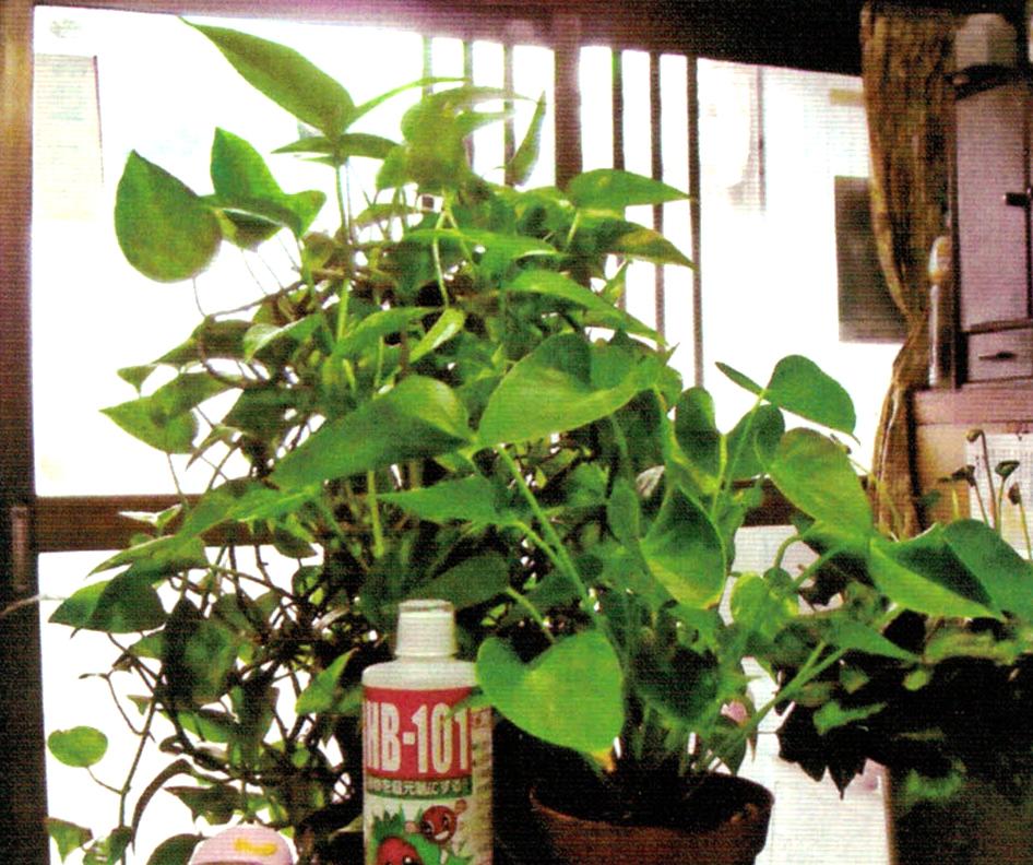 今年で10年目の植物はHB-101で元気です。