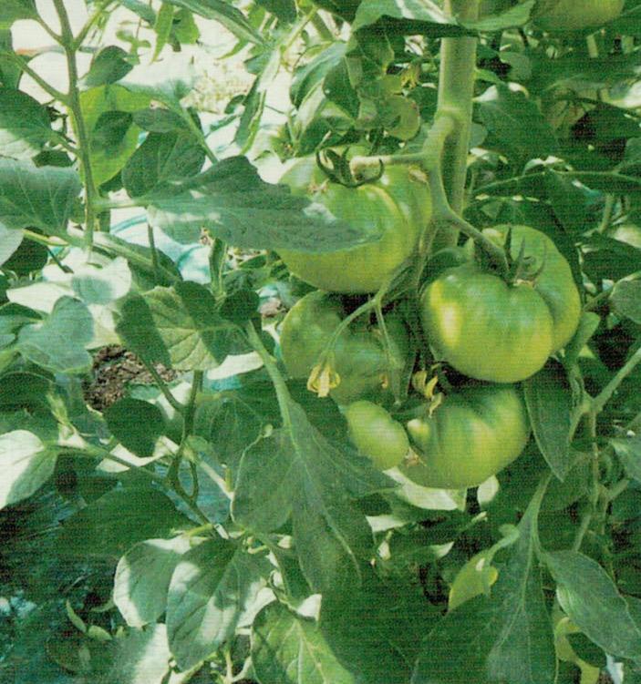 顆粒HB-101で根の生長が良く、茎がしっかりとしてきます。