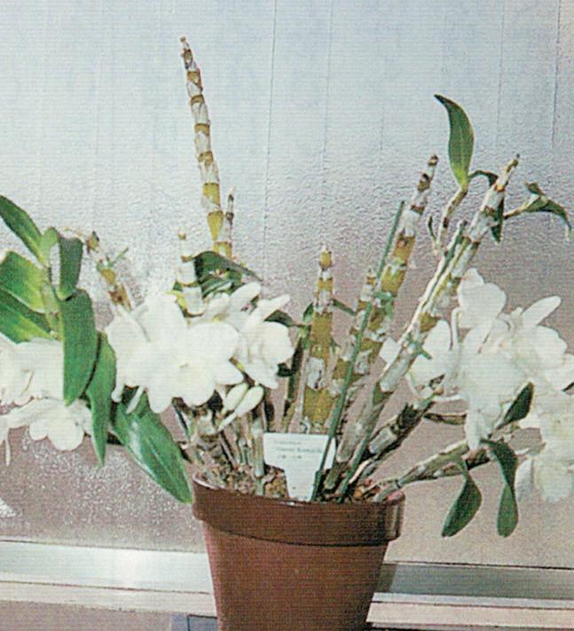 デンドロビュームです。HB-101で美しく咲いています。