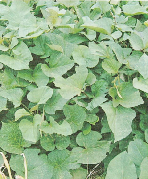 HB-101で栽培しているさつま芋の葉です。