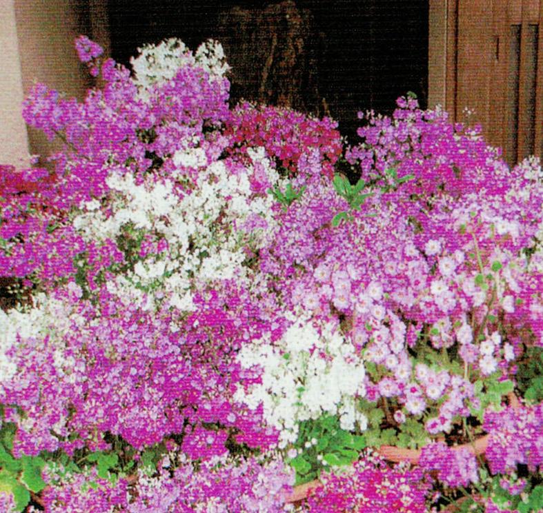 HB−101でサクラソウがたくさんの花をつけ、いっぱい咲かせることが出来ました。