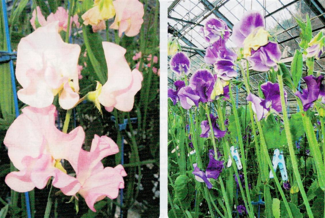 HB-101と顆粒HB-101でまっすぐに伸び、きれいな花を咲かせます。