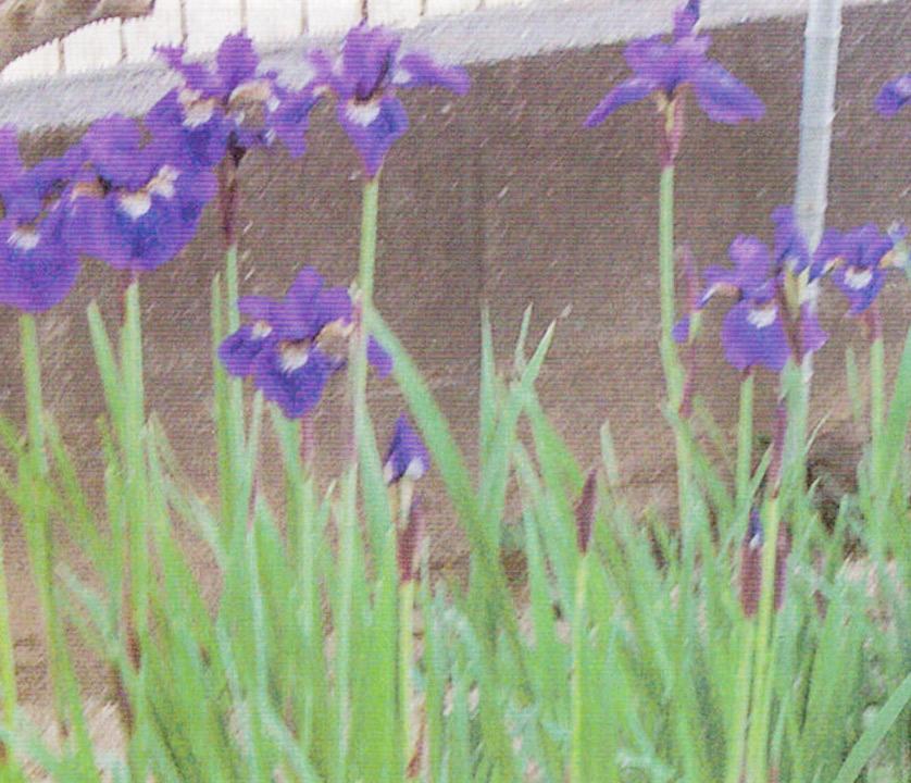 余り花が咲かなかったアヤメがHB-101で今年は数え切れない位、花が咲きました。今でも40本位、咲いています。
