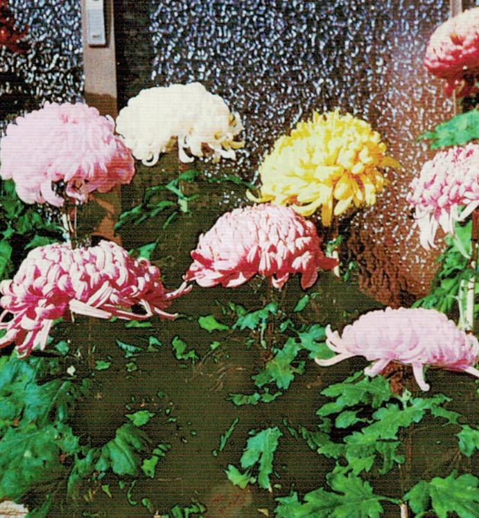 HB-101を繰り返し使うと大きな花を咲かせてくれます。